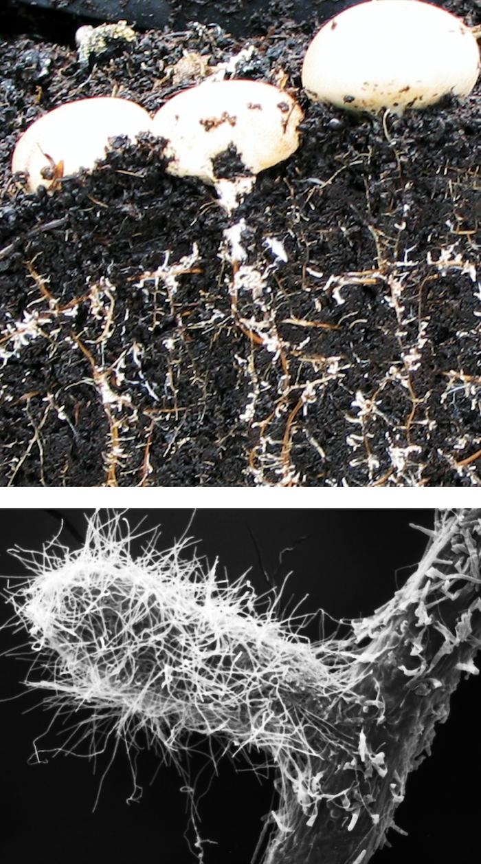 Mykorrhiza gegen Trockenstress
